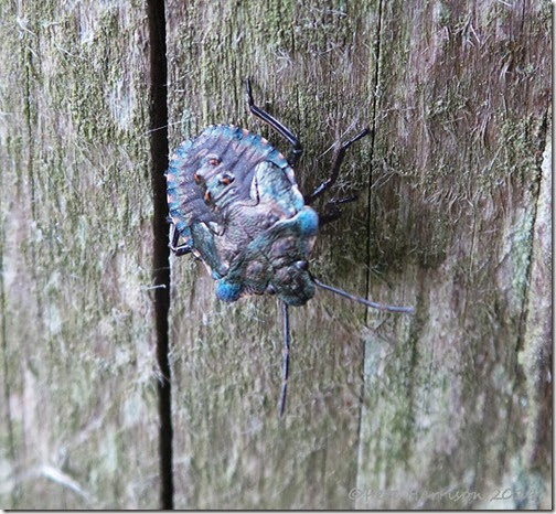 4-red-legged-shieldbug-instar