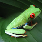 Costa Rican Frog.jpg