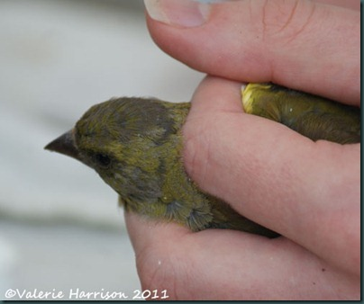 13 greenfinch