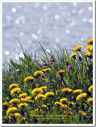 Near the water the Dandelions are flowering and the water is glittering in the sun.