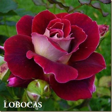 Rosa-LoBocAs-5001
