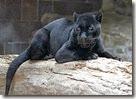 320px-Jaguar black