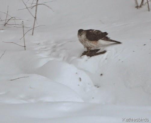 25. 2-9-15 cooper's hawk-kab