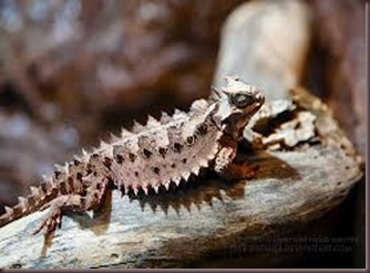 Amazing Pictures of Animals, photo, Nature, exotic, funny, incredibel Zoo, Horned lizard, Phrynosoma, Reptilia, Alex (20)