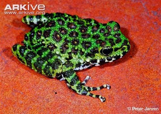 ARKive image GES076577 - Ishikawa's frog