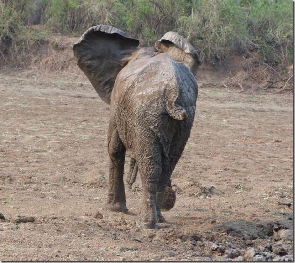 Resgate dramático de um elefante bebê e sua mãe (17)