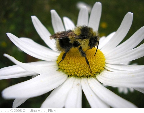 'Summer is here, Bee on Daisy' photo (c) 2008, Christine Majul - license: http://creativecommons.org/licenses/by/2.0/