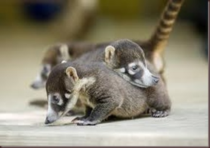 Amazing Pictures of Animals Coati Nasua. Alex (10)