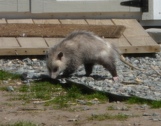 Oh, and we also have THIS in our yard. Opossum!
