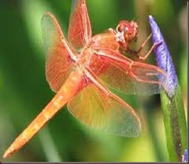 Amazing Pictures of Animals, photo Nature, exotic, funny ,incredibel Zoo, Dragonfly, Insecta, Alex (8)