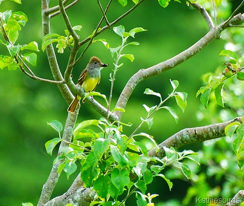 4. great-crested flycatcher-kab