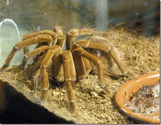 Reptile Zoo - Tarantula 1
