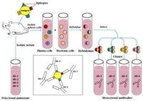 monoclonal antibodies and polyclonal antibodies