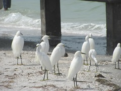 Florida Sanibel egrets near pier
