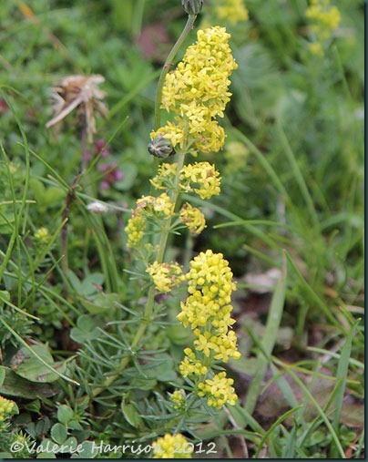 37-Ladys-bedstraw