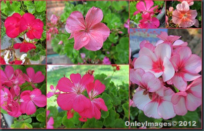 geraniums collage2