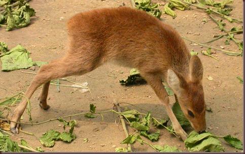 Amazing Animal Pictures Water Deer (10)