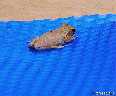 3. frog on pool cover-kab