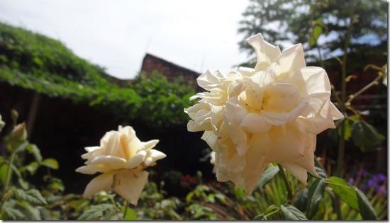flor-flores-rosas-imagens270