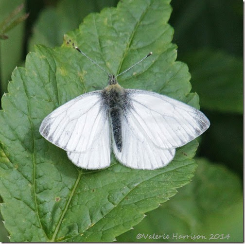 12-green veined white-butterfly