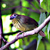 Striped%252520tit-babbler
