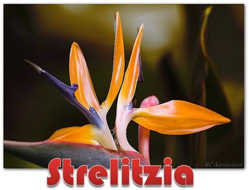 Strelitzia 2[4]