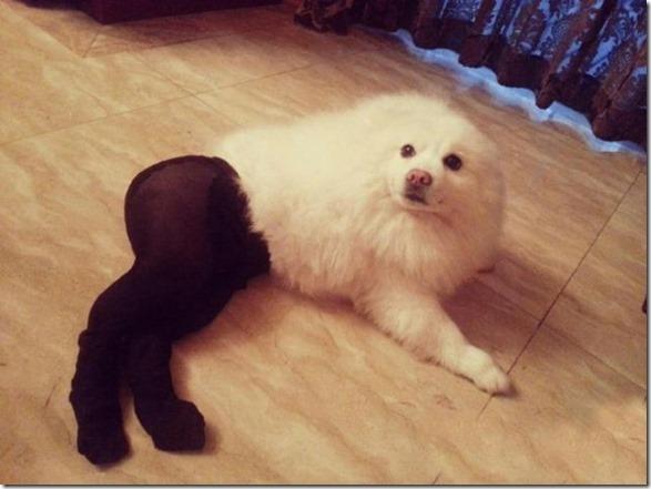 dogs-pantyhose-16
