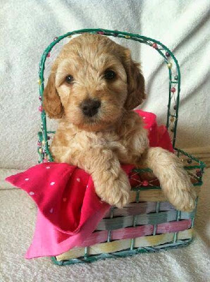 labradoodle puppy female