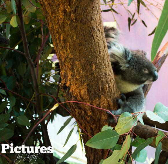 koala-caversham-wildlife-park-pictures-by-jacky