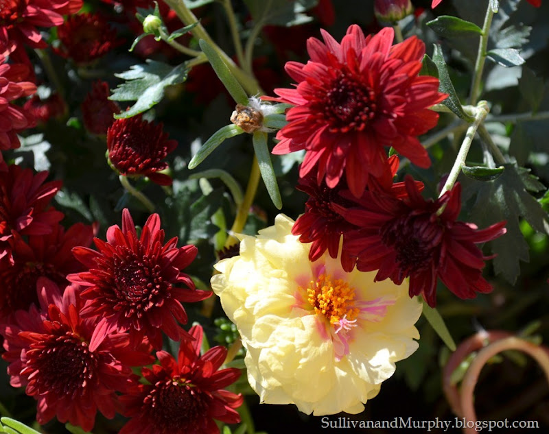 red mums 3