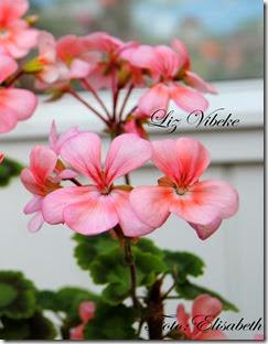 Pelargonium 23 juli, Liz vibeke 011