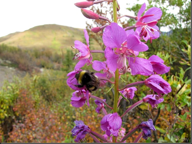Fireweed closeup with Northern Bumblebee