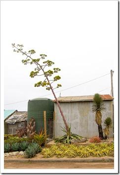 120928_SucculentGardens_agave-stalk2