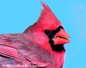 Amazing Pictures of Animals,photo, Nature, exotic, funny, incredibel, Zoo, Northern Cardinal, (Cardinalis cardinalis), Bird, Aves, Alex (11)