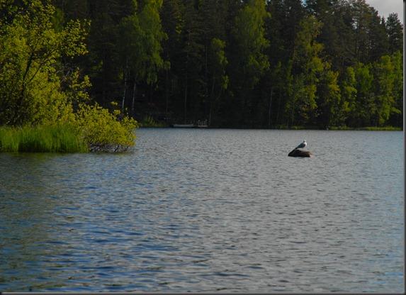 haukijärvi sudenkorento 028