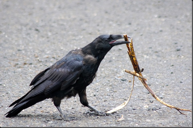 Common Raven with a stick