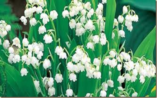 Lily of the Valley2
