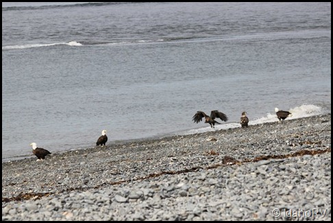 Several-Eagles-on-the-Beach