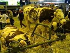2015.02.26-066 vache saosnoise