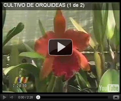 Como cultivar orqu deas dise o y decoracion de jardines - Como cuidar orquideas en maceta ...