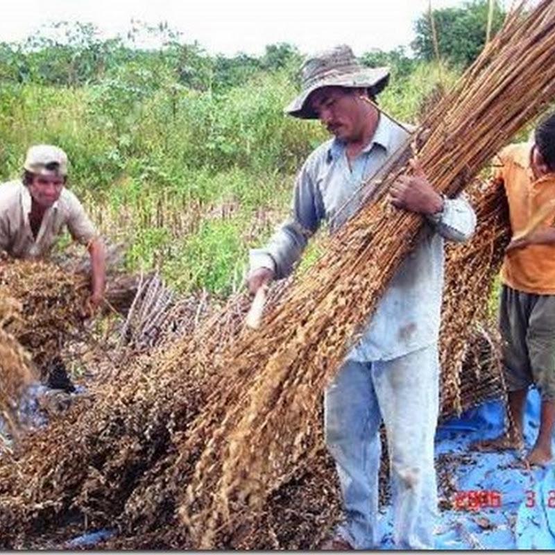 Santa Cruz: Crece 60% la superficie cultivada del sésamo