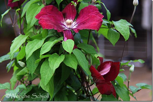 Rouge-Cardinal-(9)