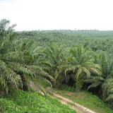 Photo2. Oil Palm Plantation
