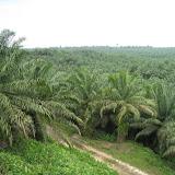 写真2 アブラヤシ・プランテーション/ An oil palm plantation.