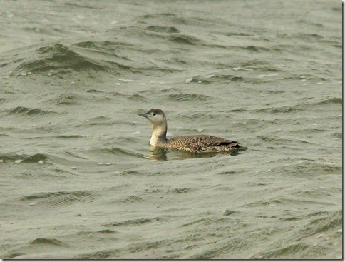 red-throated loon, non breeding plumage