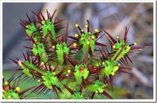 150318_home_018_Euphorbia_enopla