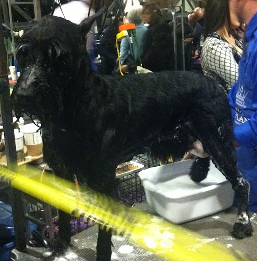 Giant Schnauzer gets a sponge bath in preparation for show!