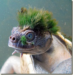 punkturtle