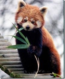 Red_Panda_thumb1[4]