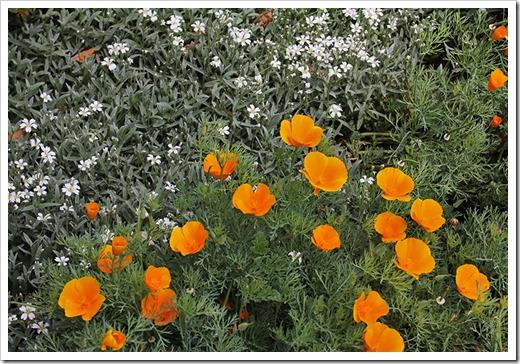 110508_Eschscholzia-californica_03